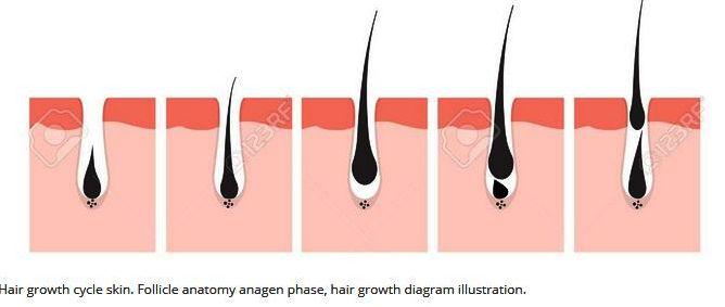 Hair Growrh Cycle