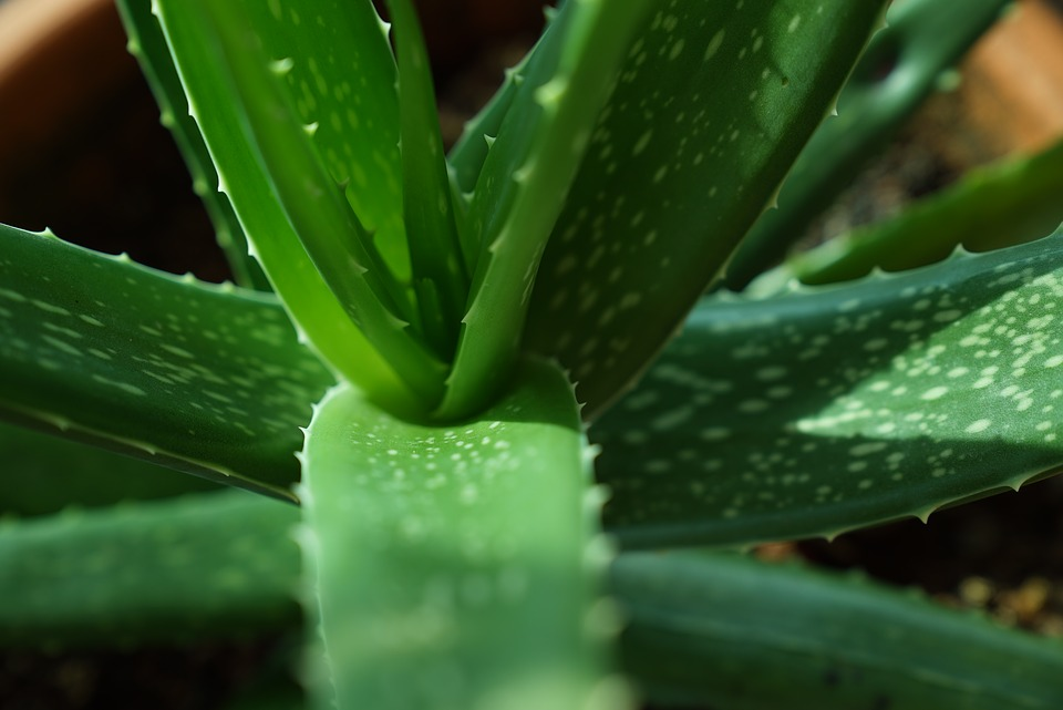 10 Benefits of Aloe Vera