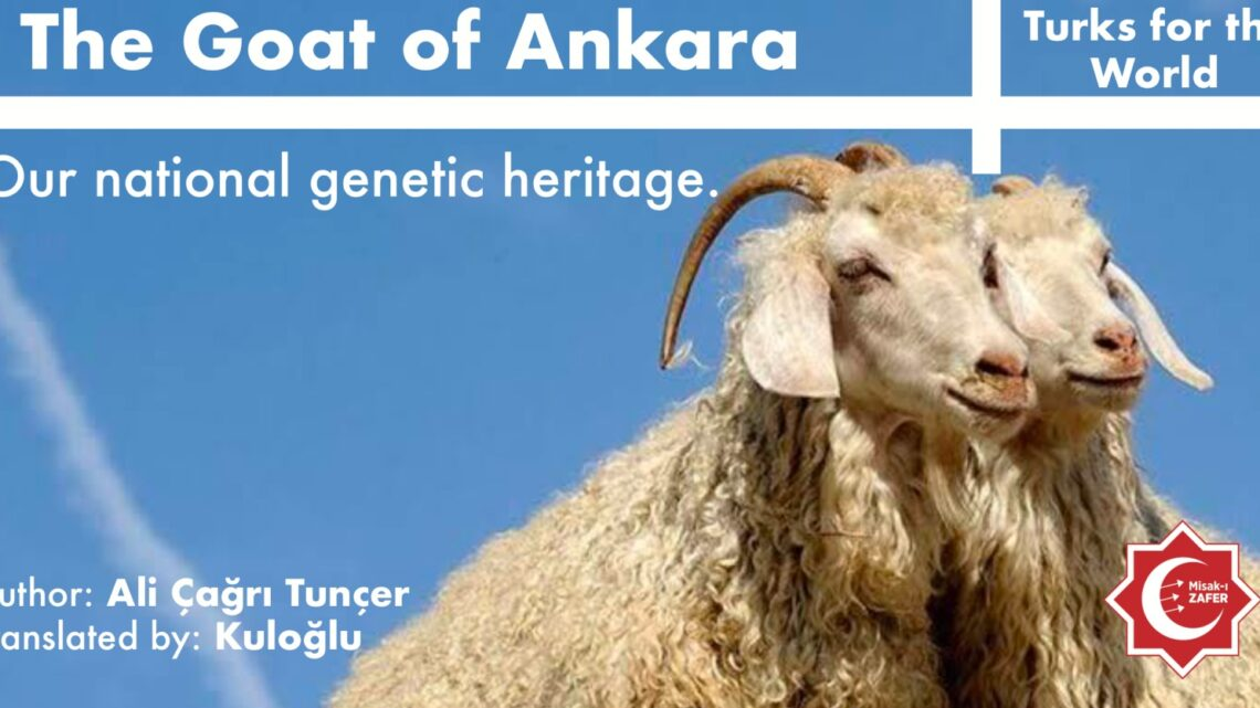 THE GOAT OF ANKARA:OUR NATIONAL GENETIC HERITAGE
