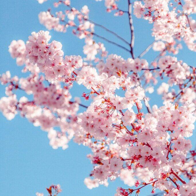 Sakura-blossom-tree-pruning
