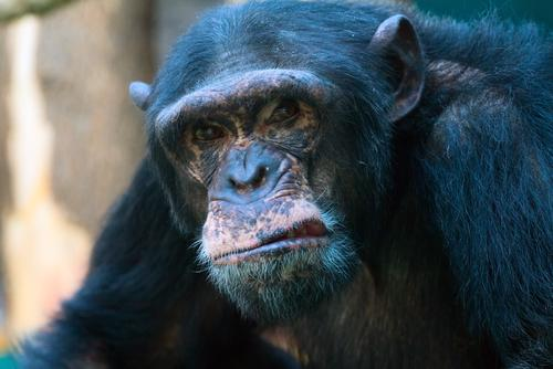 betting shop obliterated by chimp