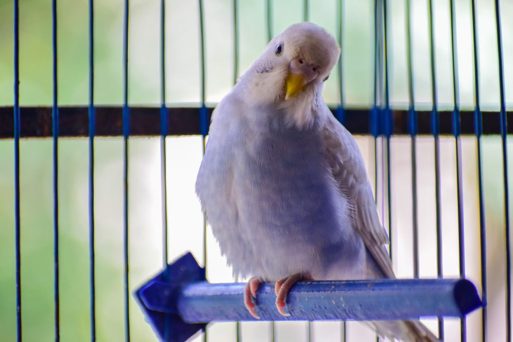 Budgie fuming as owner lines cage with old racing post