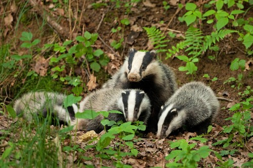Jump card off as BADGERS chomp through fences