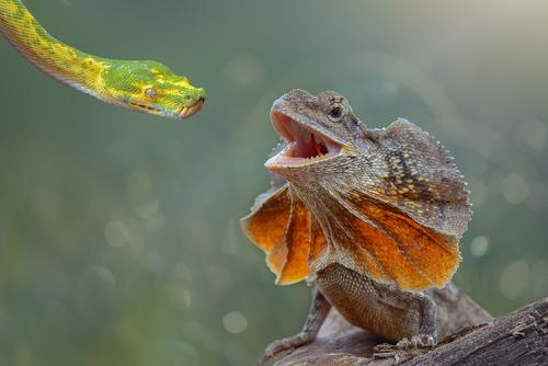 Bookmakers share 97% DNA with Frilled Lizards