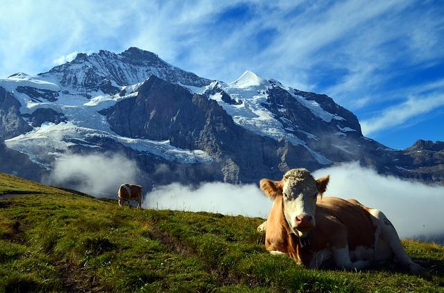 cows in switzerland