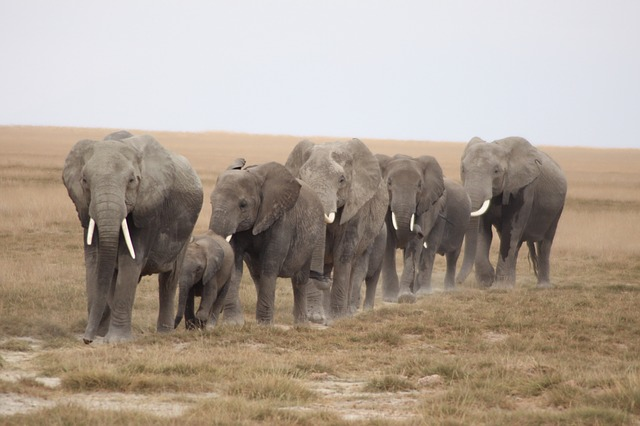 herd-of-elephants-1570649_640