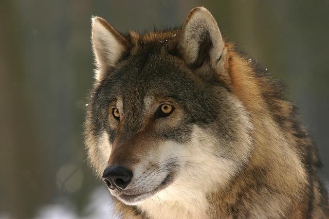 wolf-725380_640