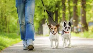 walk dogs in the morning or the evening during hot weather
