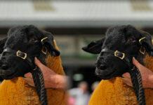 Suffolk ram was sold by Richard Thompson,