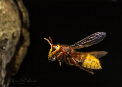 "Hornet returning to the nest: won the Nature in Close-up category of ""Outdoor Photographer of the Year"" 2011"