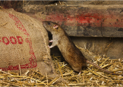 Brown rat in the barn