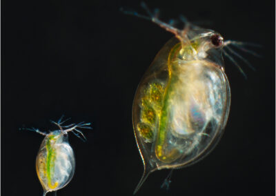 Daphnia, one of the several small aquatic crustaceans commonly called water fleas because their saltatory (Wiktionary) swimming style resembles the movements of fleas. They are 0.2–5 millimetres (0.01–0.20 in) in length.