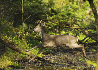 Roe buck crossing the stream