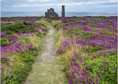 Heather at Wheal Coates tin mine, St. Agnes, Cornwall