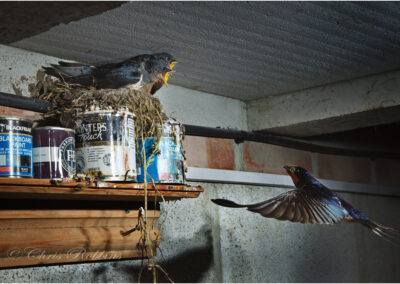 Swallows nesting in the paint shed