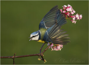 nature,wildlife,blue tit,defensive,garden birds,uk,wildlife,woodland,animal,animals,bird,birds,native,ornithology,garden,flight,britain,british,photo,photography,wings,wings open,Cyanistes caeruleus