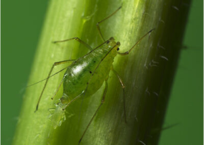 The birth of an aphid