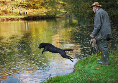 A working gun dog going for a water retrieve