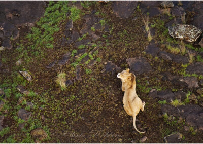Lion from above: taken from a hot-air balloon in Kenya.