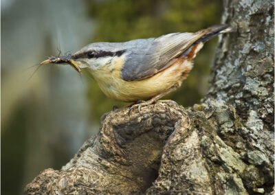 Nuthatch with Mayflies