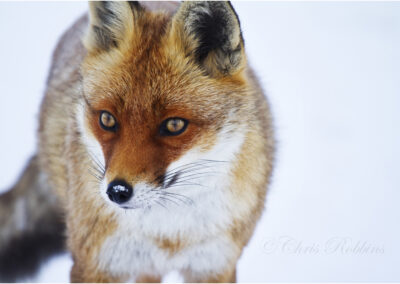 Fox in the snow ( vulpes vulpes)