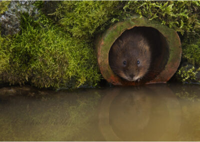 Water vole (Arvicolor amphibius)