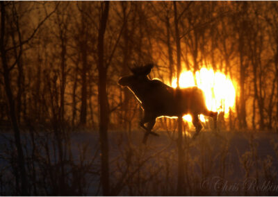 Moose at sunrise, Beaverlodge, Canada.