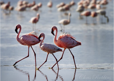 Flamingos in Lake Nakuru, Kenya.