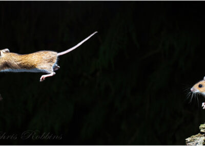 Wood mouse jumping:  I have always been interested in high speed Flash. This image was taken in the wild and took a week to set up.