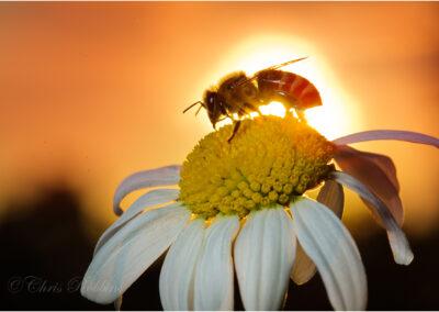 Honey Bee at Sunset