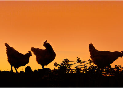 Chickens are on the Garden Wall, taken during Lock down for a silhouette competition.