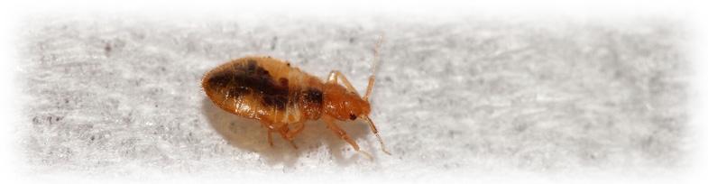 bed bug crawling carpet