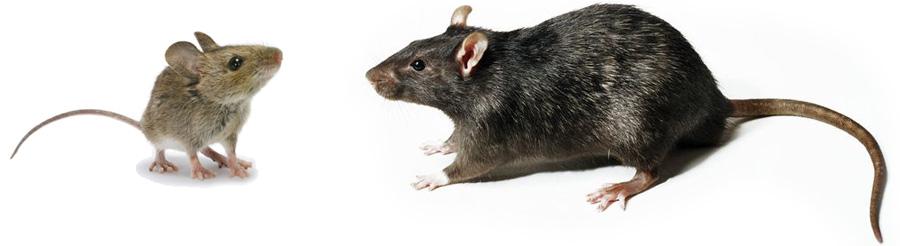 rodent-rat-mouse-exterminator