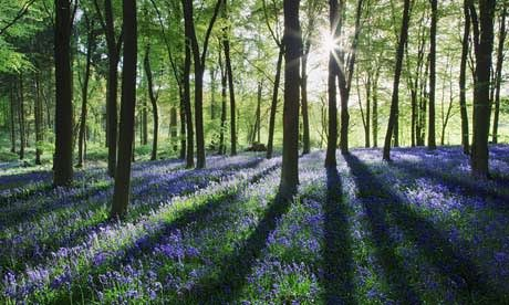 Springtime in the Forest of Dean. Bluebells Forest of Dean