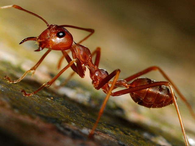 The Kyim red wood ants