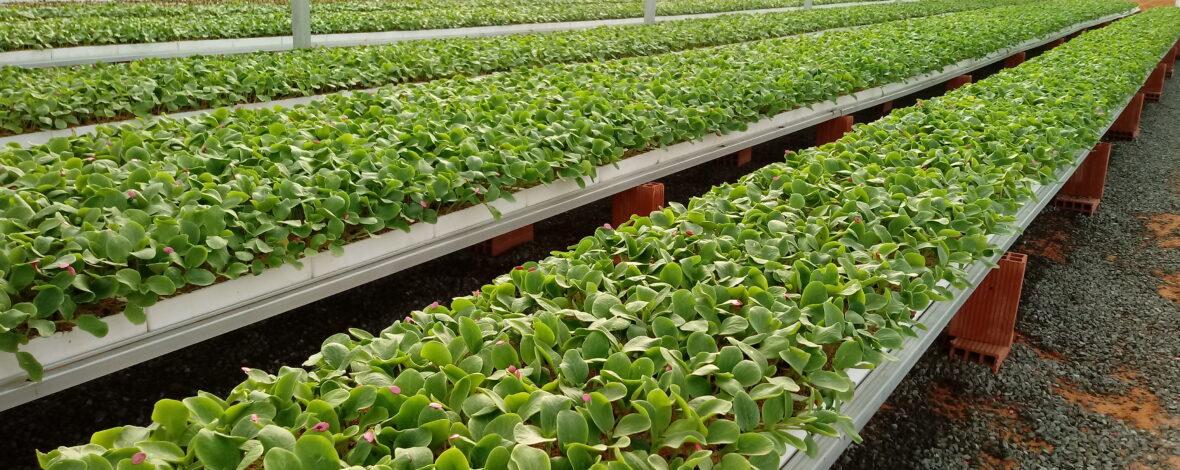 Producción de plantas en nuestro semillero