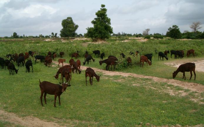 Pastoreo de cabras murciano-granadinas