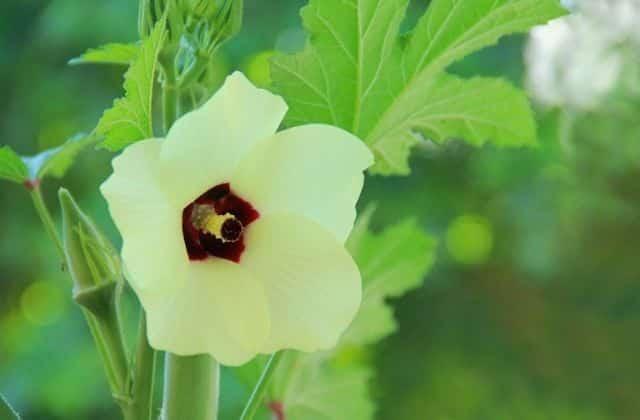 Flowering of lady finger plant