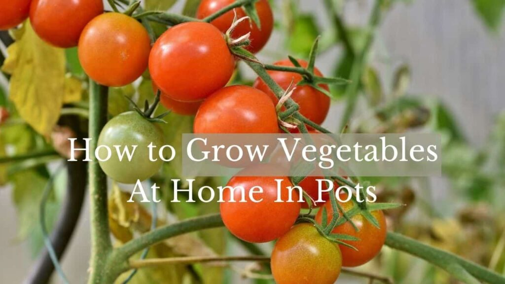 Grow vegetables in pots at home in india