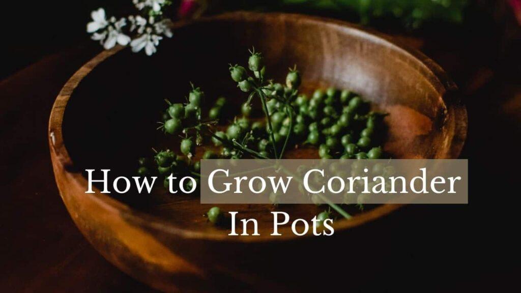 grow coriander in pots
