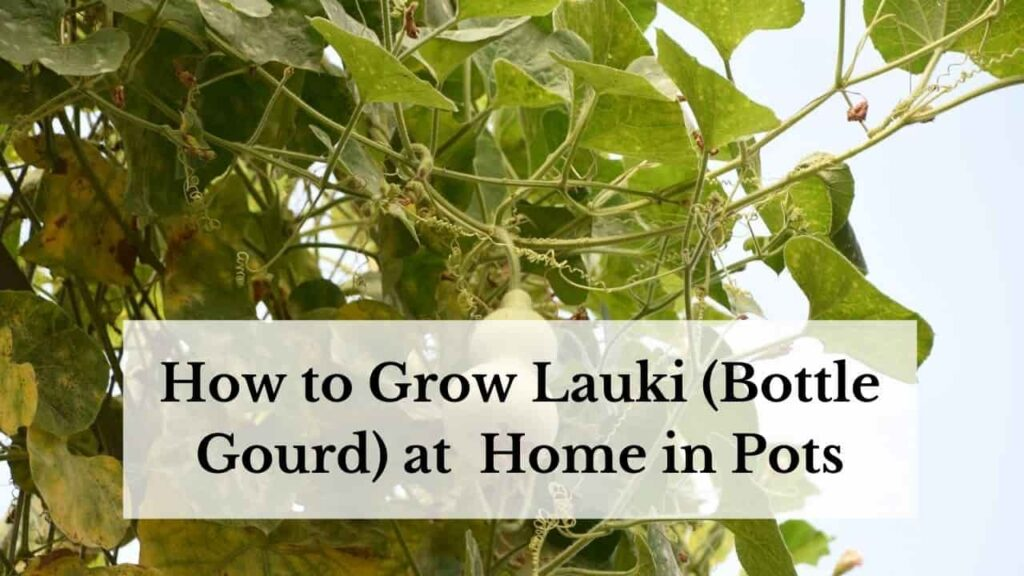 How to grow Lauki at home in pots