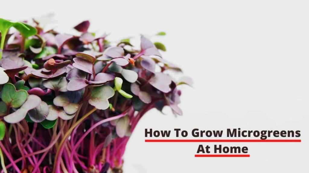 How to grow microgreens at home in India