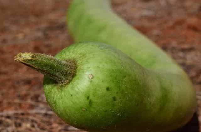 lauki after harvesting