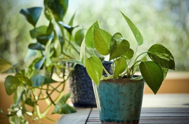 Types of money plant