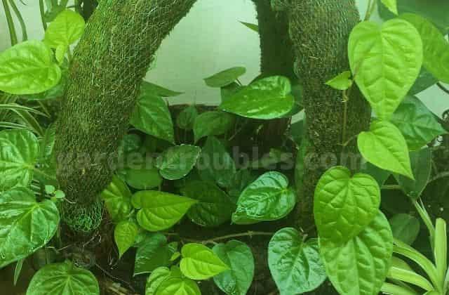 Make Money Plant Bushy