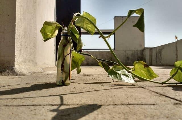 Money plant inside bottle