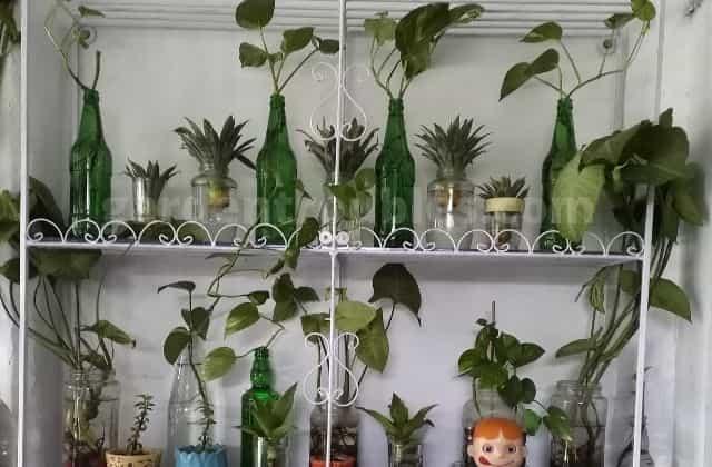 Money plants in Water