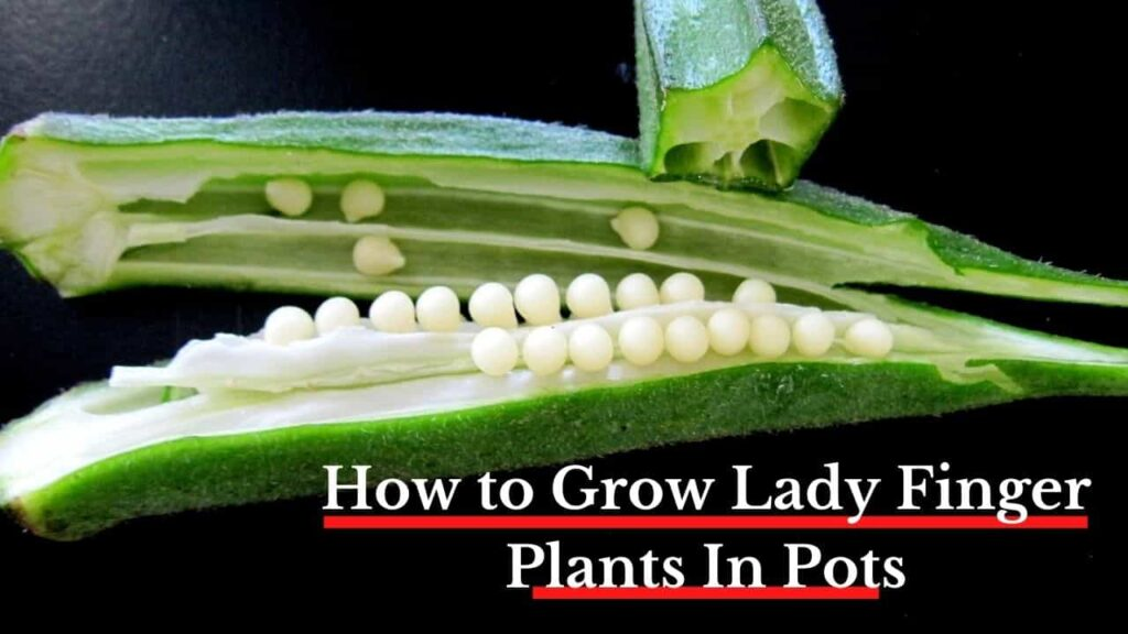 how to grow lady finger plant in pots