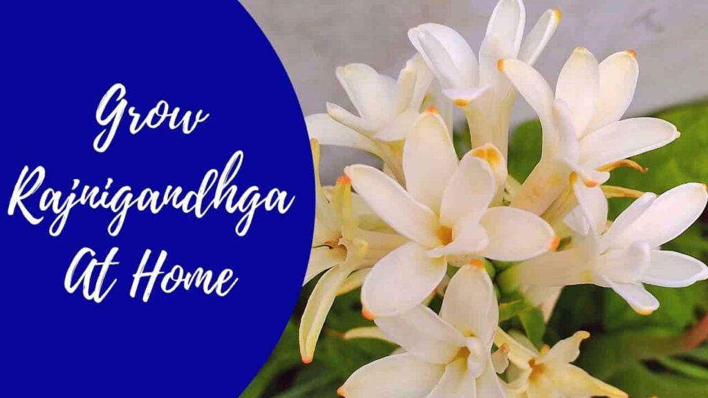 Grow Rajnigandha at home in pots