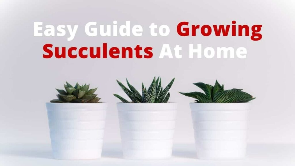 Grow succulents in india at home